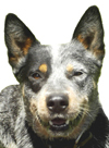 Hi, I'm Rowdy and you're at the right site for the best ACD puppies. Click my photo to vote for the pup you like and WIN!